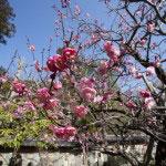 観音様に囲まれて咲く梅。