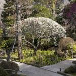 報国寺の梅は善の宇宙を表すかのように円く剪定されています。