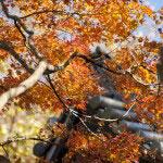 妙本寺梵鐘の屋根にかかる紅葉。
