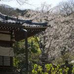 本堂の右手に大きな桜が2本あります。