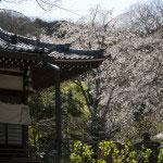 安国論寺本堂右手には見事な桜が何本も咲き誇ります。