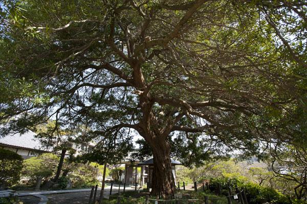 樹齢700年、開山の良弁尊観の手植えと伝わる槙の巨木。鎌倉市の天然記念物です。