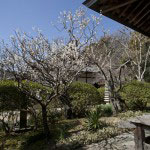 庭に咲く梅。