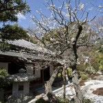 枯山水庭園に咲く梅。