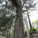 浄智寺にある高野槙の巨木。