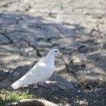 八幡宮によく似合う白鳩。
