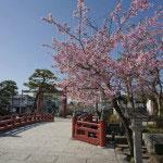 平家池側には早咲きの桜があります。
