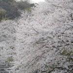 源平池の桜。「桜切る馬鹿、梅切らぬ馬鹿」ということわざがあります。まさに奔放に水面すれすれまで逞しくのびています。