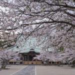 光明寺の大殿前の広い境内を桜が覆います。