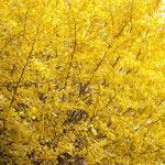 報国寺には銀杏の大木があります。