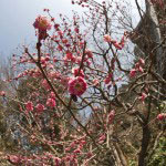 妙本寺祖師堂左手にある寒紅梅。