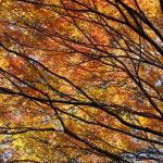 妙本寺本堂の側にある梵鐘付近は紅葉の名所です。