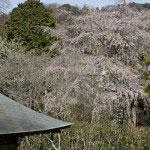 裏手の山から本堂付近から見た枝垂桜。