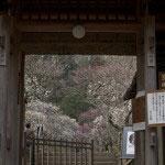 梅の季節には門をくぐる前から美しい景観。
