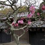梅は花も当然良いですが、幹や枝が水墨画のようで心ひかれます。