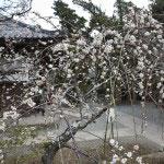 観音堂の側には梅の木が数本植えられています。