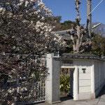 英勝寺。入口の左手に梅の木があります。