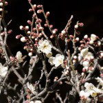 英勝寺。同じく仏殿前の梅です。