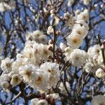 英勝寺。門前の梅。尼寺に白い梅がぴたりとあいます。
