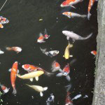 下之水神社の池には見事な錦鯉。