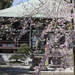 参道右手から静かに咲く枝垂桜。