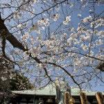 日蓮像に向かって咲く桜は水平の美しさが見事。