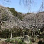 見事な枝垂梅をメインにたくさんの梅の中を香りに包まれながら歩くことができます。