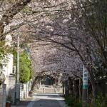 周辺は桜並木になっています。