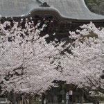 建長寺三門前の桜は絶景。鎌倉の桜景色を代表するものの一つです。
