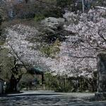 光則寺の桜。海棠(カイドウ)が有名な光則寺ですが、桜もきれいです。
