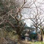 鎌倉市の天然記念物に指定されている安国論寺の山桜。妙法桜ともいわれます。