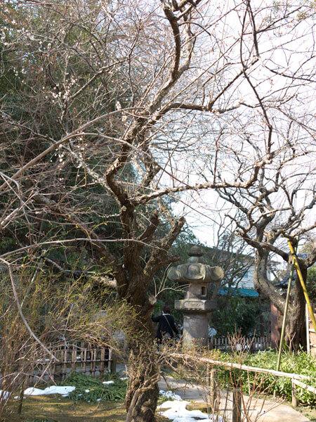 安国論寺の山桜。妙法桜ともいわれます。