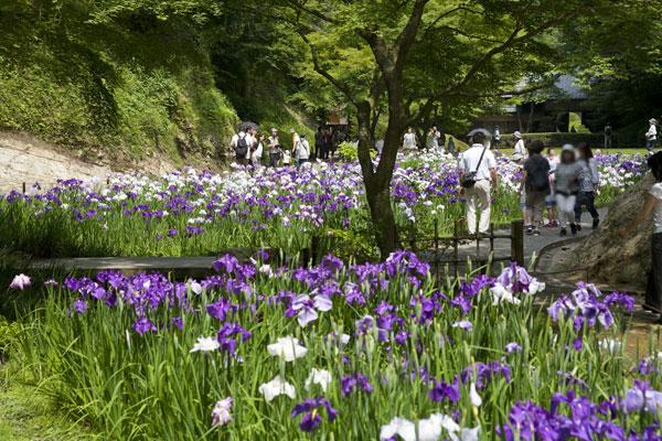 明月院後庭園の花菖蒲。花菖蒲と紅葉の季節のみ公開され、多くの参拝者で賑わいます。