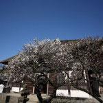 選仏場前には数本の梅の木があります。