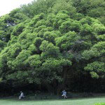 実は個人的に隠れた楽しみとなっている、鎌倉文学館のスダジイ。いわゆるシイノキです。これだけ立派なものは稀です。専門家が鑑定したものの樹齢がはっきりしなかったというミステリアスな木です。