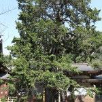 鶴岡八幡宮のビャクシン。鎌倉市の指定天然記念物です。