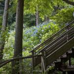 明月院。谷戸を本堂に向かって登る道は4本あります。紫陽花の季節はどの道にも姫紫陽花が咲き誇ります。