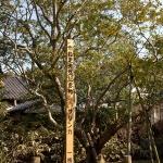 鎌倉市の天然記念物に指定されている安国論寺の山茶花(サザンカ)。