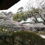 美しい組み合わせ。日本建築と梅。