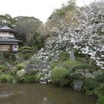 蓮池が有名な大聖閣にも桜が咲きます。