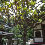 佛日庵には1933年(昭和8年)、魯迅より寄贈された泰山木(タイザンボク)があり、6月中旬には真っ白な大きな花を咲かせます。