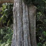 英勝寺の唐楓(トウカエデ)。鎌倉市の天然記念物に指定されている見事な木です。