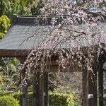 もう一枚、海蔵寺の枝垂梅。