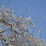 枝垂梅は一度空に向かって伸び、枝が長くなると枝垂れて行きます。