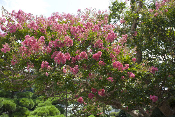 猿も滑りそうな滑らかな幹に鮮やかな紅の花が咲く百日紅(サルスベリ)。