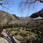 参道を登って本堂周辺の梅。右にも左にもたくさんの梅があります。