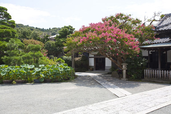 本覚寺の百日紅(さるすべり)は名物のひとつです。境内には2本の百日紅がありどちらも見事です。8月初旬から徐々に花をつけ1か月以上楽しめます。長く花をつけることから百日紅と漢字があてられたそうです。夏に鎌倉を訪れた際にはぜひ本覚寺の蓮と百日紅をご覧下さい。