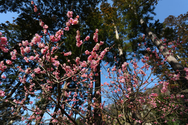 百観音の手前にある杉木立に咲く梅。この木立は四季を通じて密かに楽しる場所です。