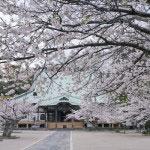 ちょっと引いて。境内にはこんなに多くの桜があります。