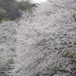 源平池の桜。池へと伸びる力強さに感動します。